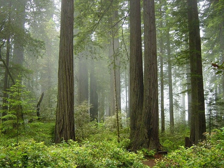 جنگل ملی REDWOOD در ایالات متحده