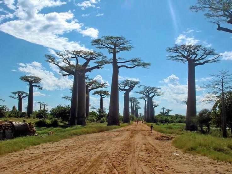 خیابان Baobabs در ماداگاسکار