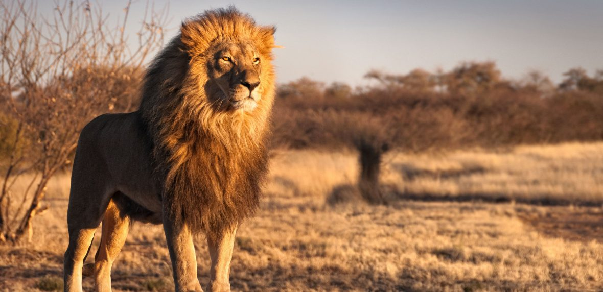 شیرها درخطر انقراض