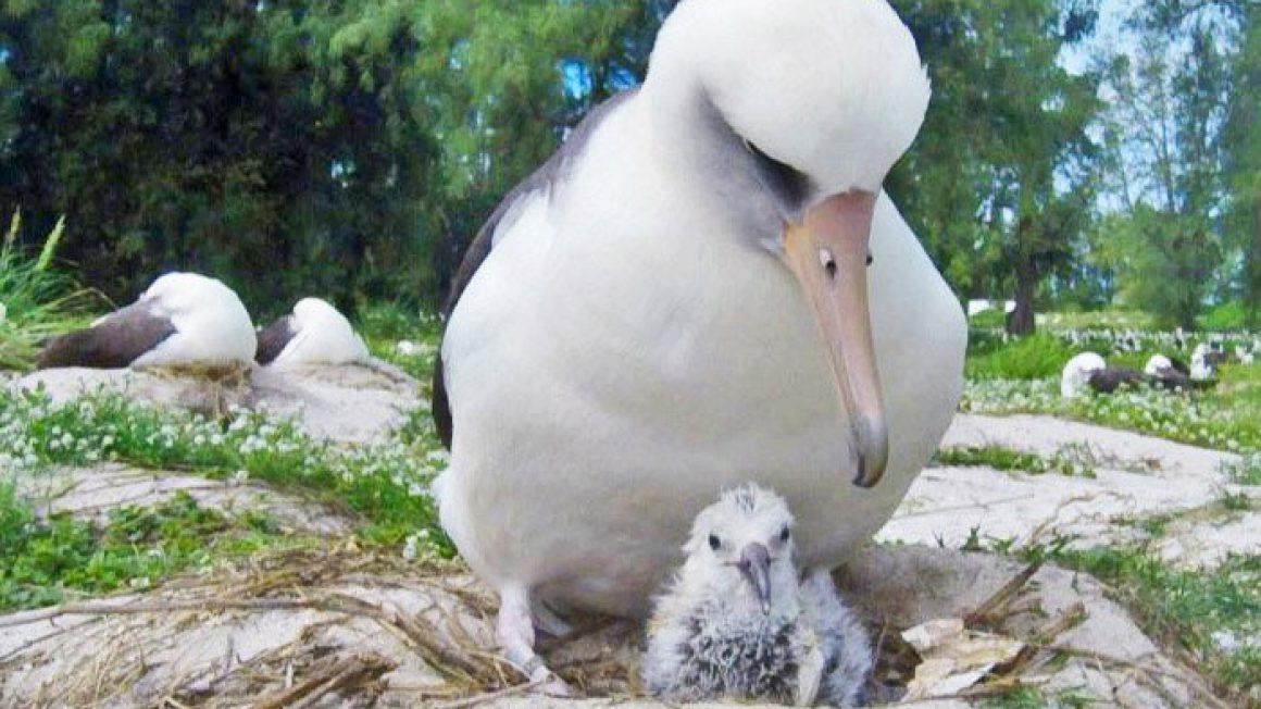 همسر Wisdom پیرترین پرنده جهان