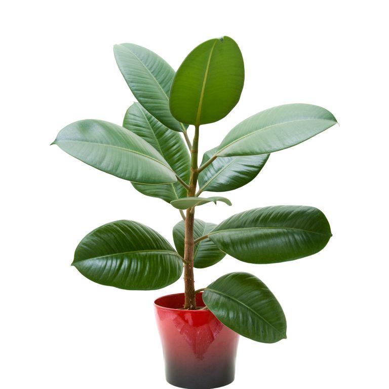 10 گیاه تمیزکننده هوا-فیکوس
