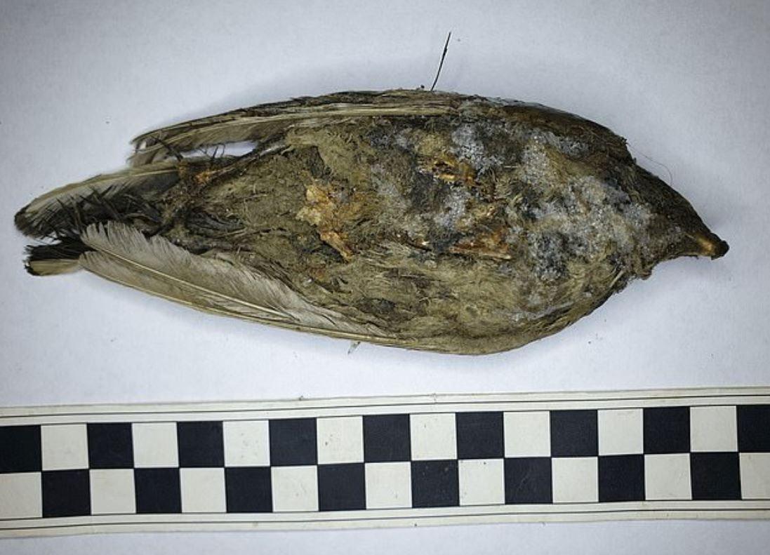 فسیل پرنده 46000 ساله منجمد - تصویر کلی